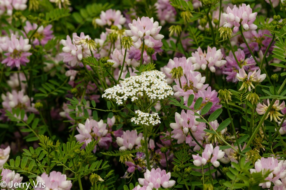 Yarrow and crown vetch