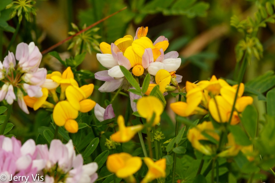 Bird's foot trefoil and crown vetch