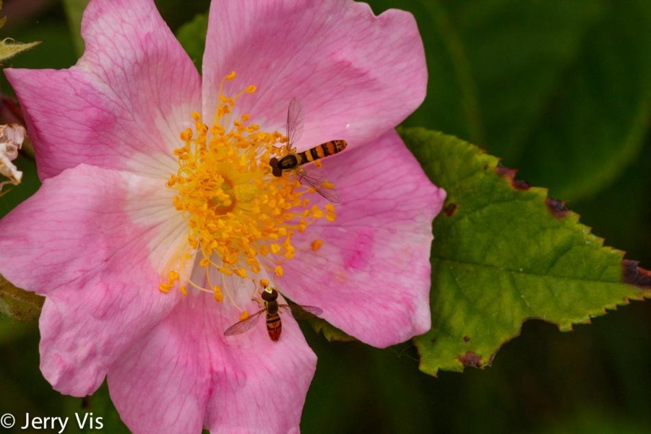 Wild rose and pollinators
