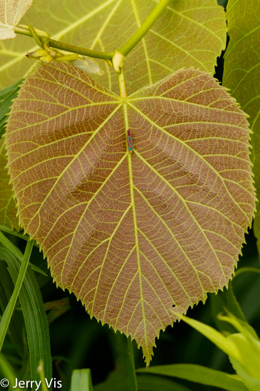 Unidentified leaf and guest