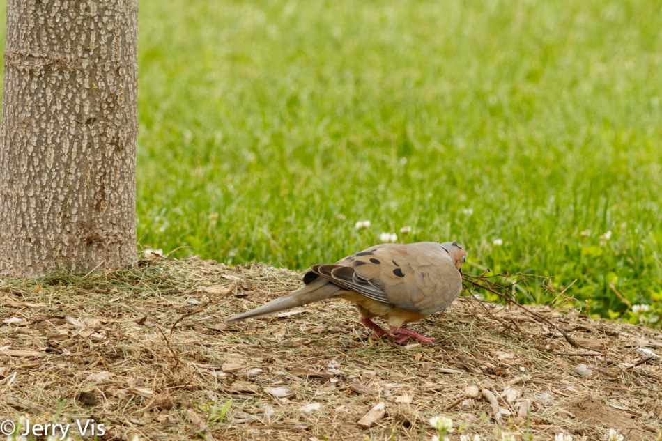 Mourning dove and toy