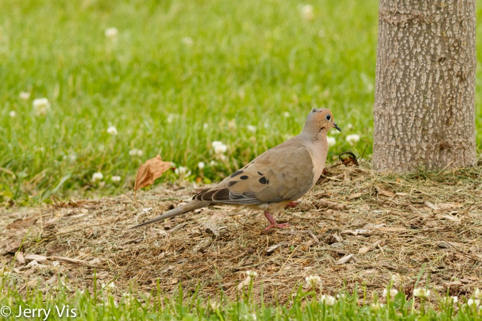 Mourning dove with a mohawk