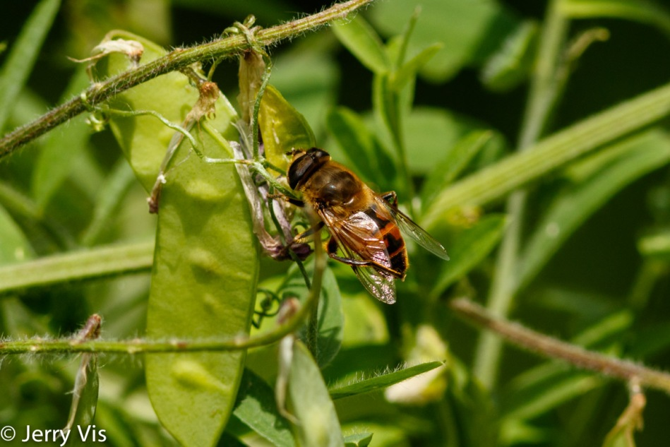Unidentified bee grooming