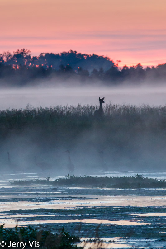 Whitetail deer and sandhill cranes at sunrise