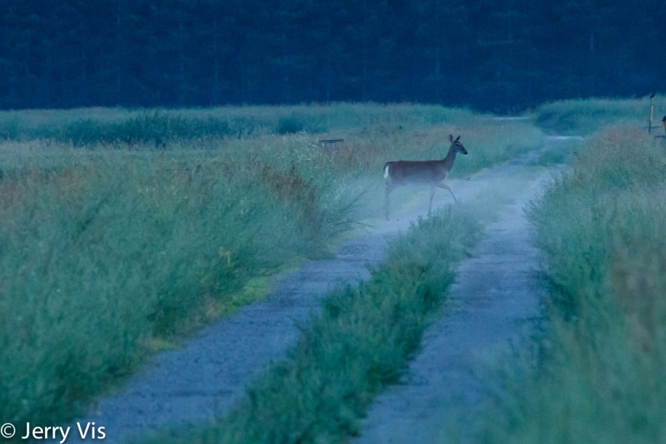 Whitetail deer in the mist