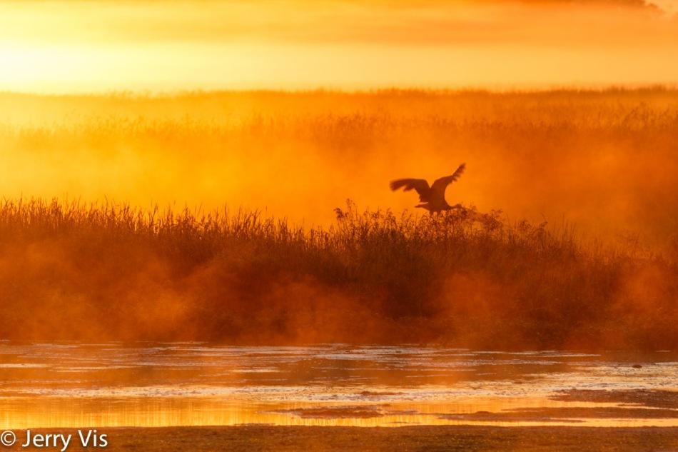 Sandhill crane in flight at dawn