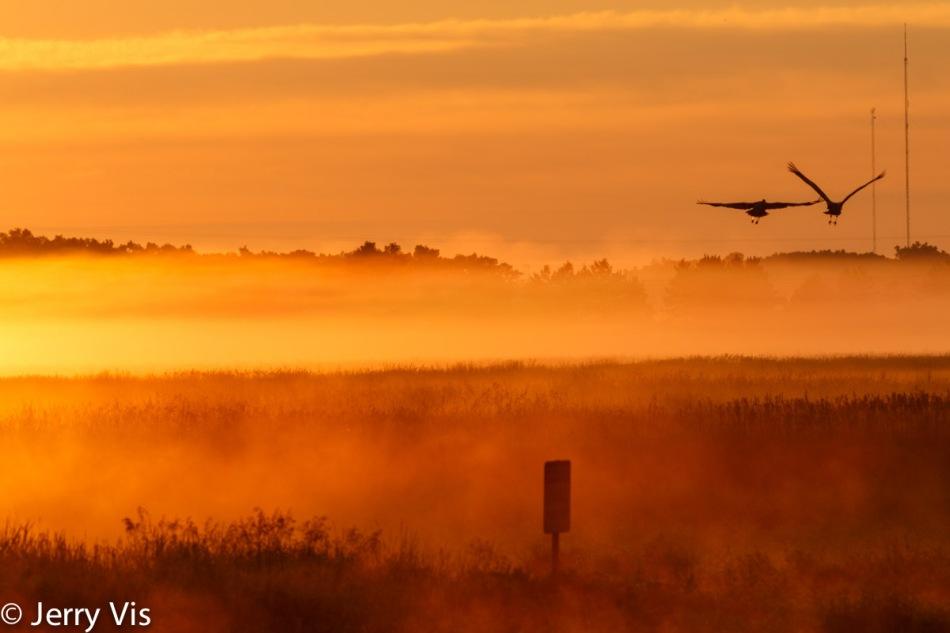 Sandhill cranes in flight at dawn