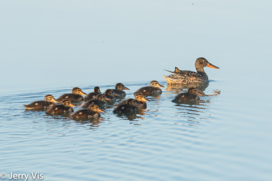 Female northern shoveler and brood
