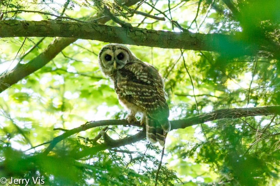 Juvenile barred owl number 1