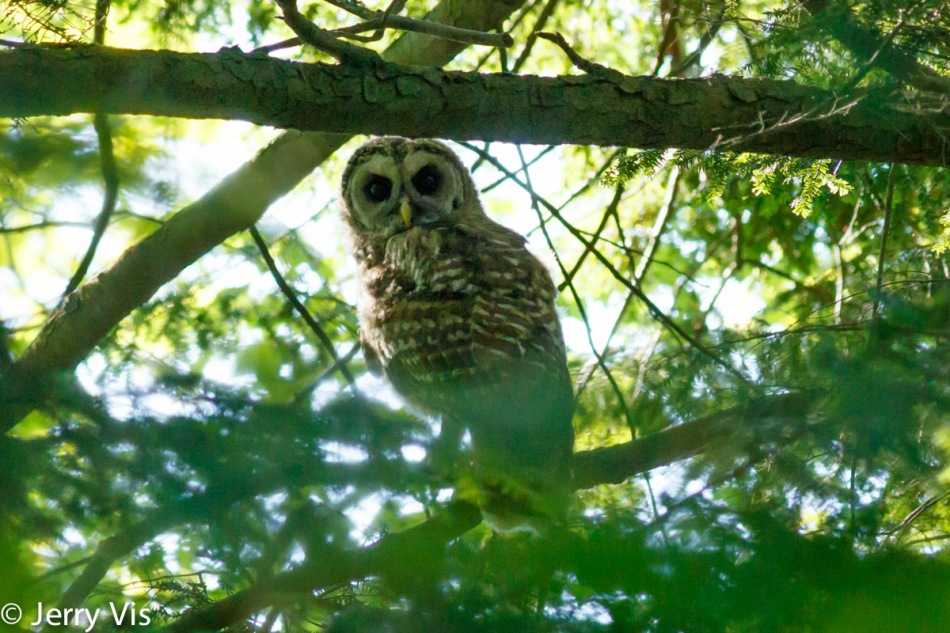 Juvenile barred owl number 2