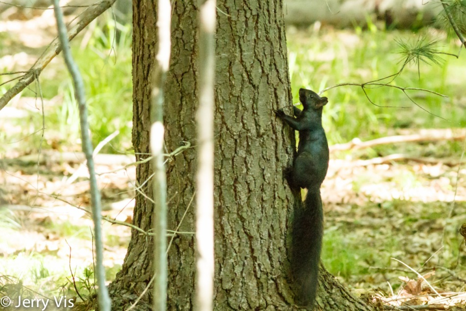 Grey squirrel, black morph