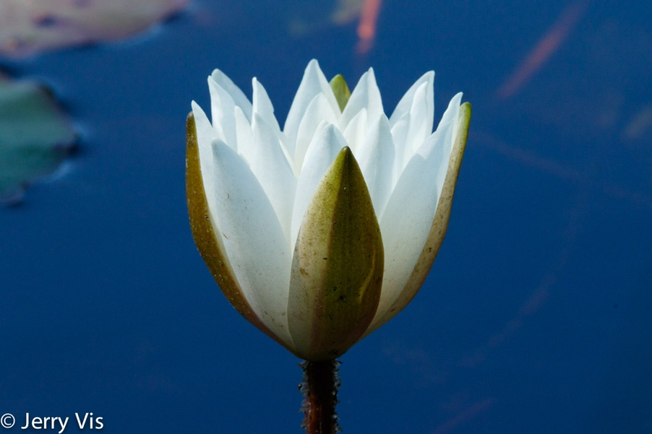 Water lily opening