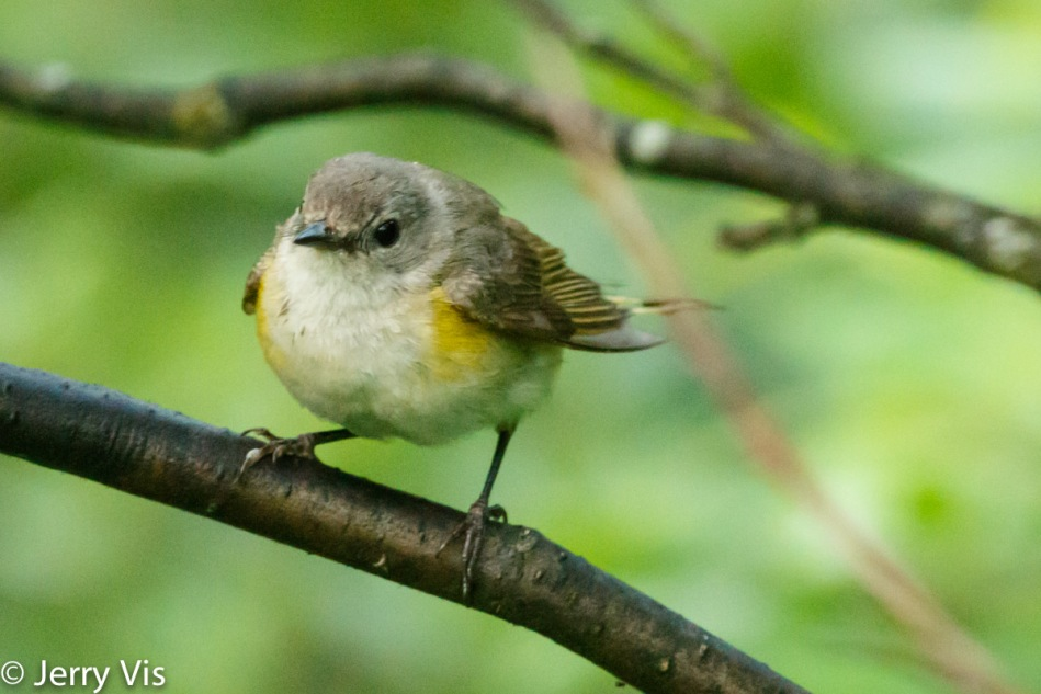 Female American redstart