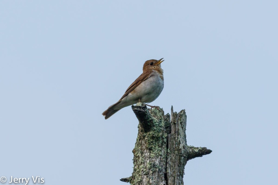 Male veery singing