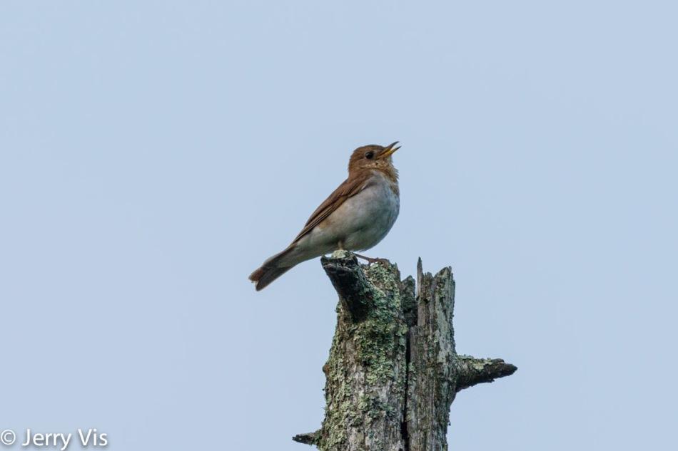 Male veery singing