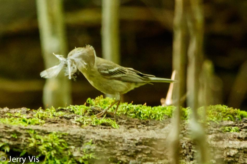 Female least flycatcher