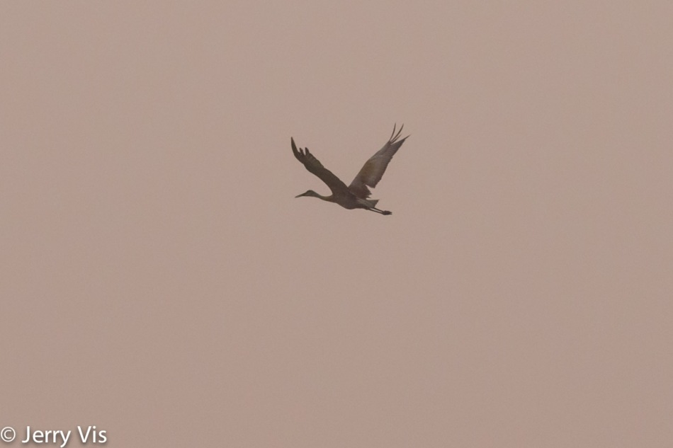 Sandhill crane flying into the sunrise