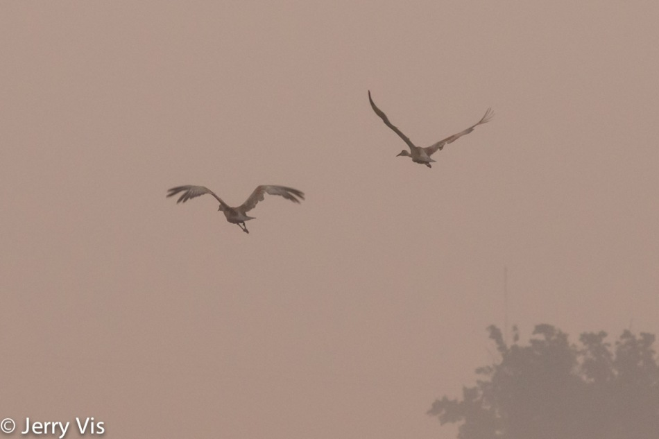 Sandhill cranes flying into the sunrise