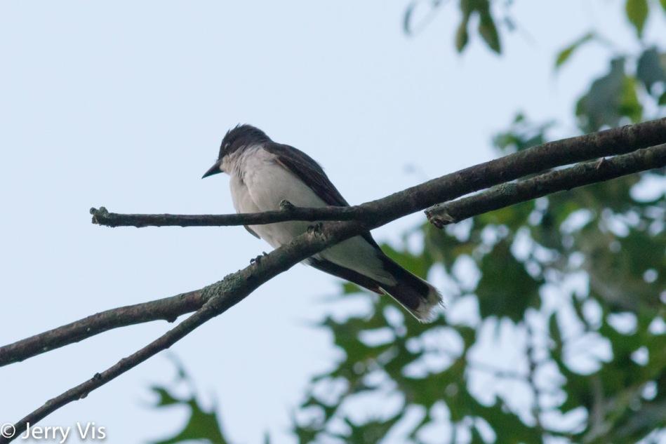 Pre-dawn eastern kingbird