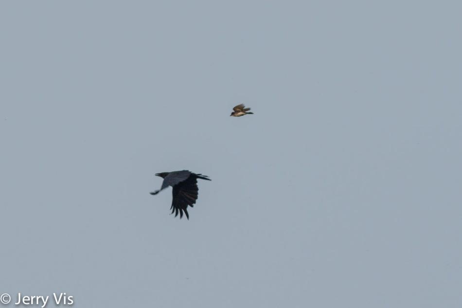 Eastern kingbird chasing a crow