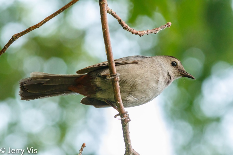 Grey catbird at dawn