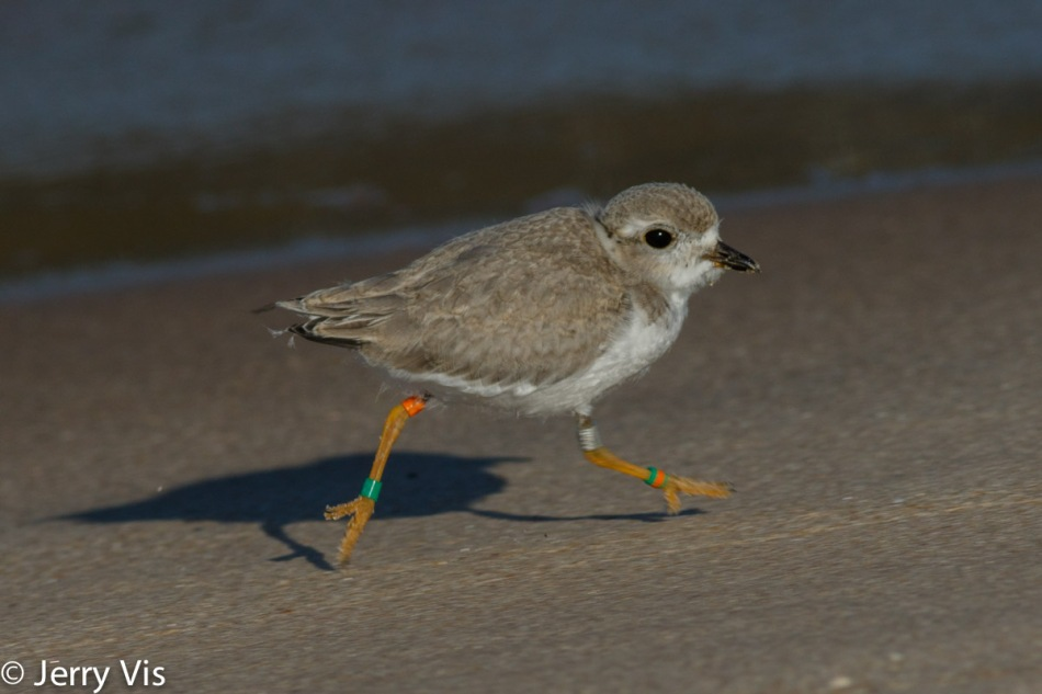 Piping plover, juvenile