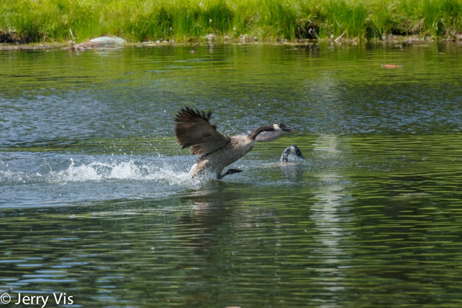 Canada geese at play