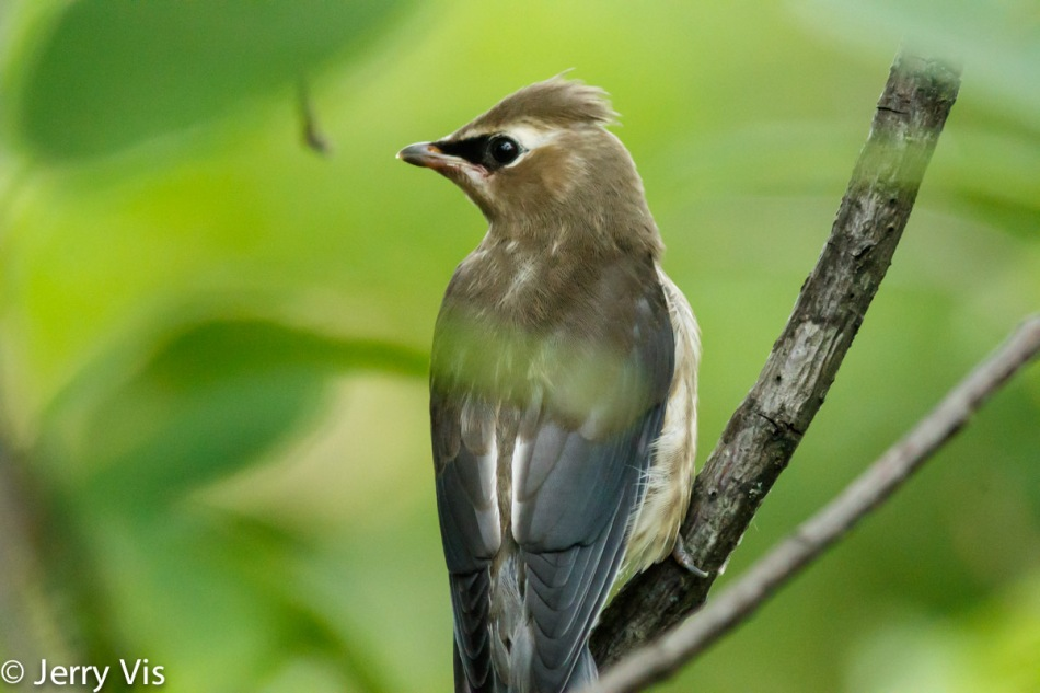 Juvenile cedar waxwing, 600 mm, not cropped