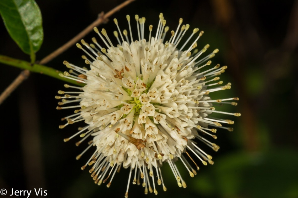 Buttonbush flower opening