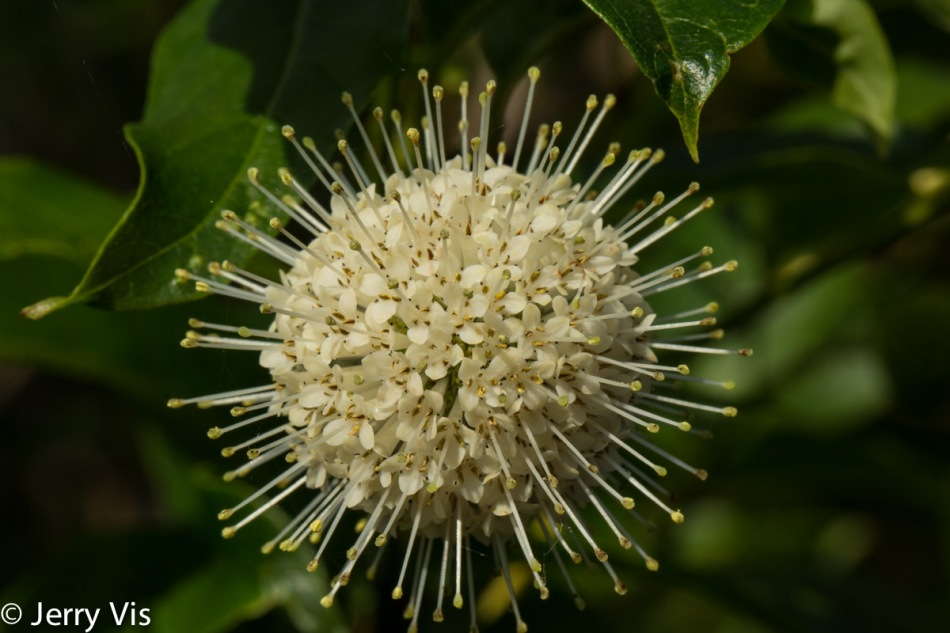 Buttonbush flower open