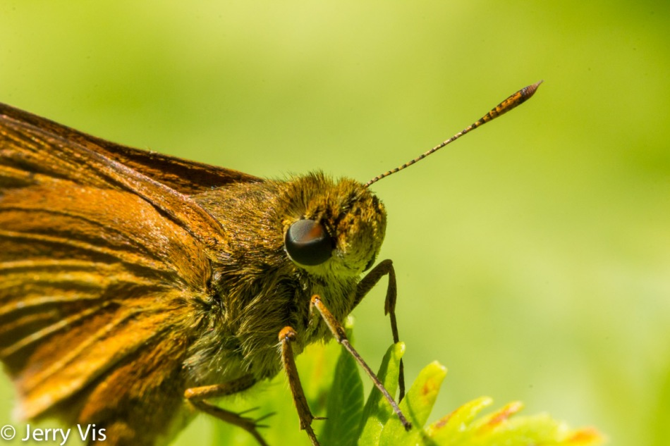 Skipper butterfly