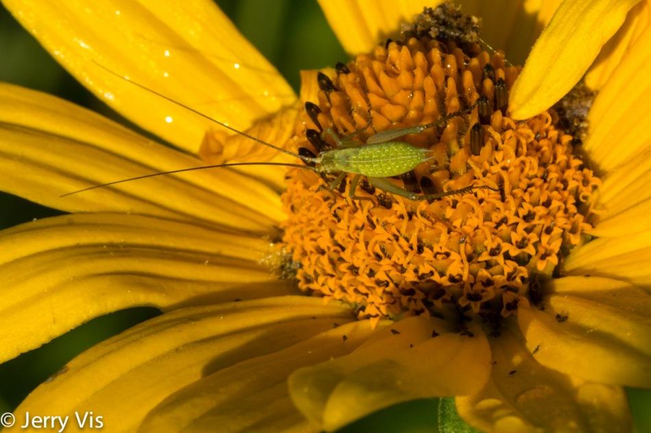 Unidentified grasshopper