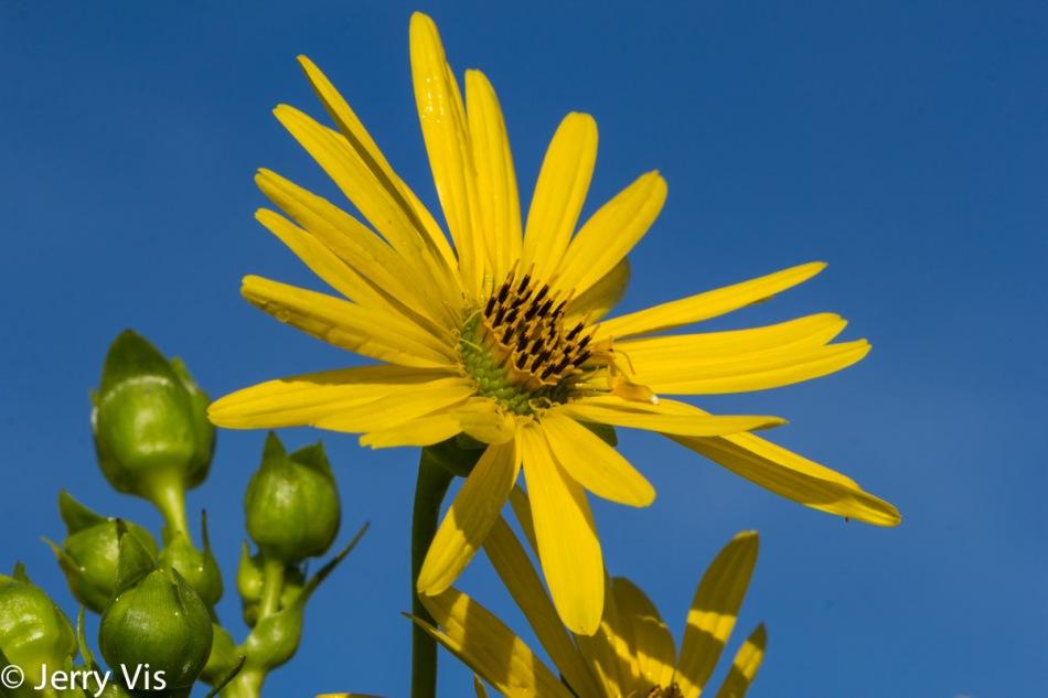 Unidentified sunflower