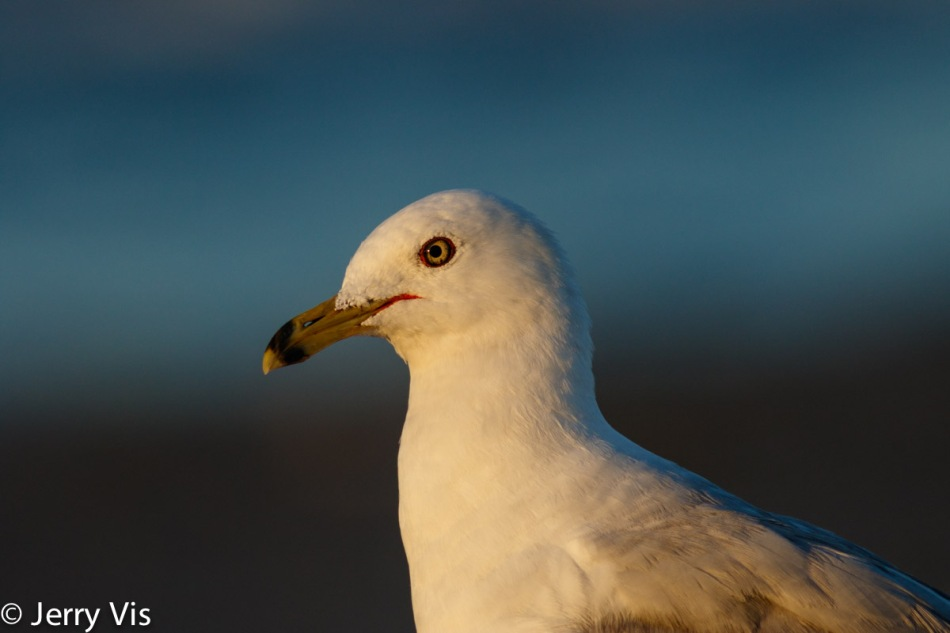 Ring-billed gull at 600 mm