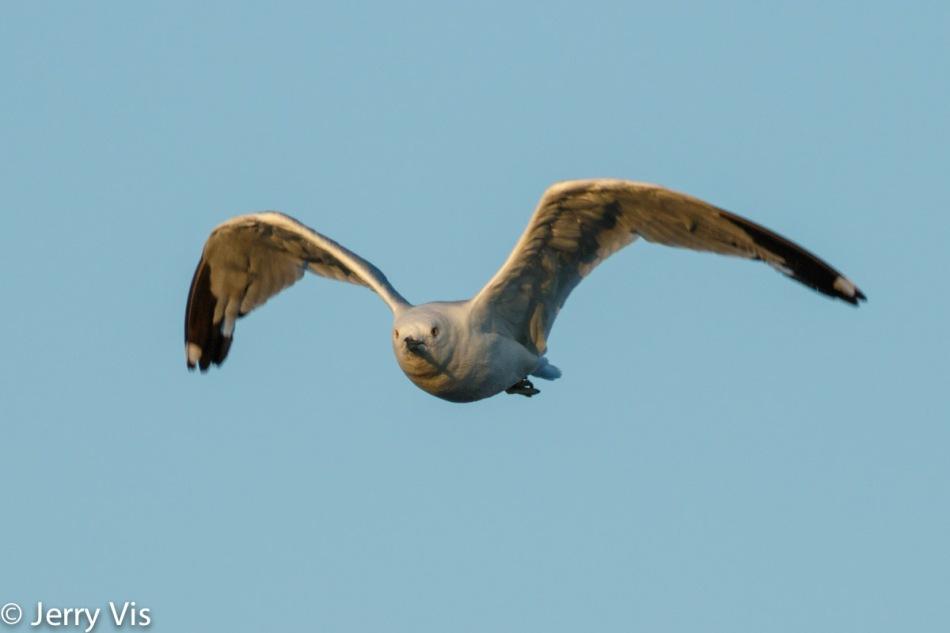 Ring-billed gull in flight at 600 mm