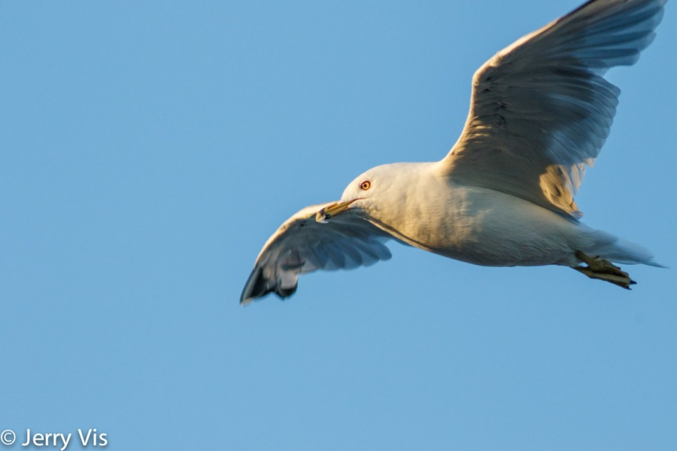 Ring-billed gull in flight at 600 mm