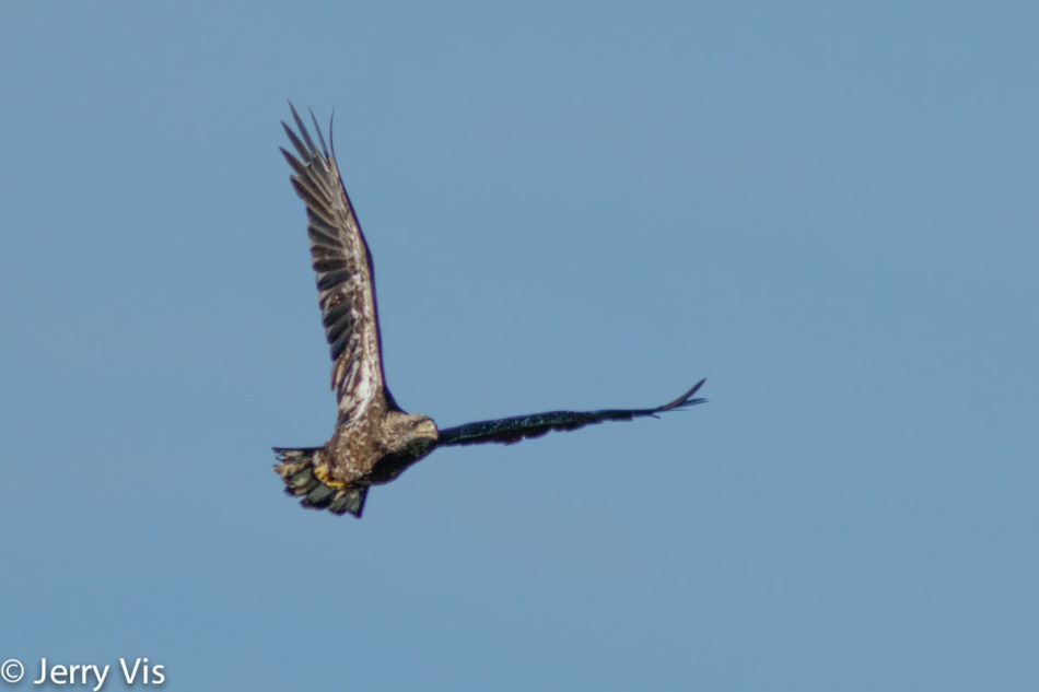 Juvenile bald eagle in flight at 600 mm
