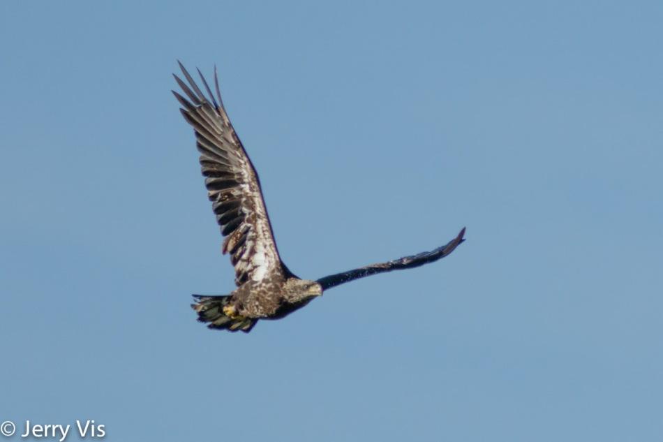 Juvenile bald eagle in flight at 600 mm