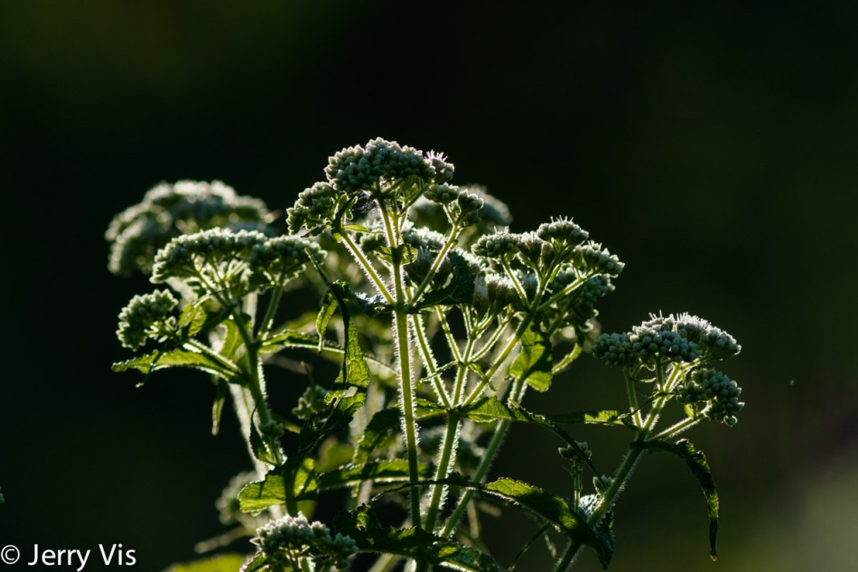 Boneset in the sun