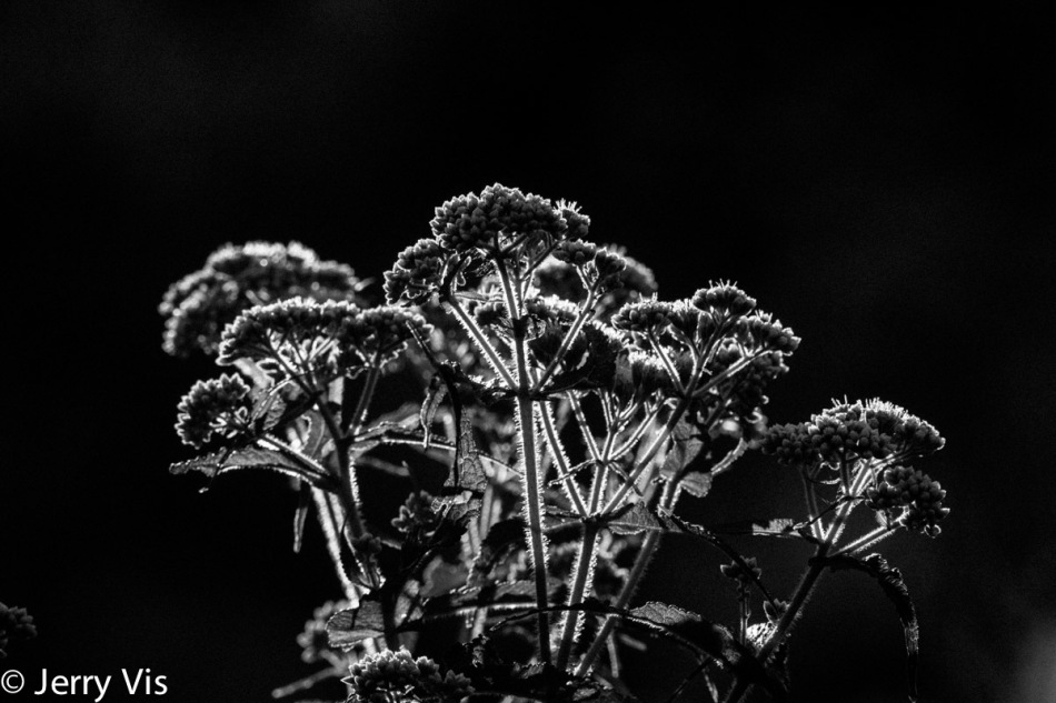 Boneset in the sun2