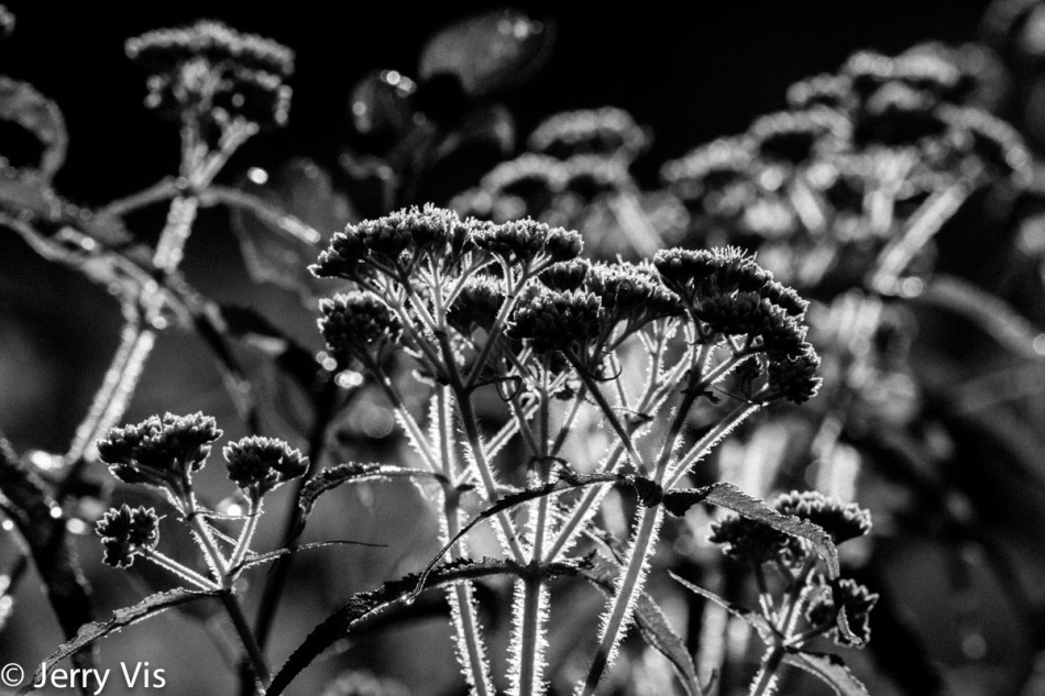 Boneset in the sun3