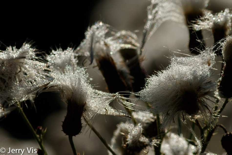 Thistle seeds in the sun