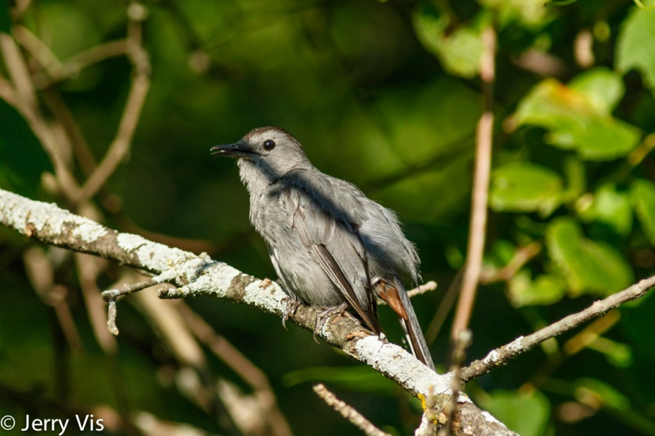 Grey catbird, do they always sit where they have a shadow across them?