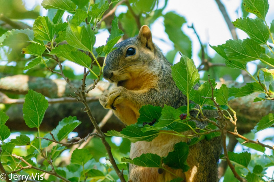 Fox squirrel eating mulberries