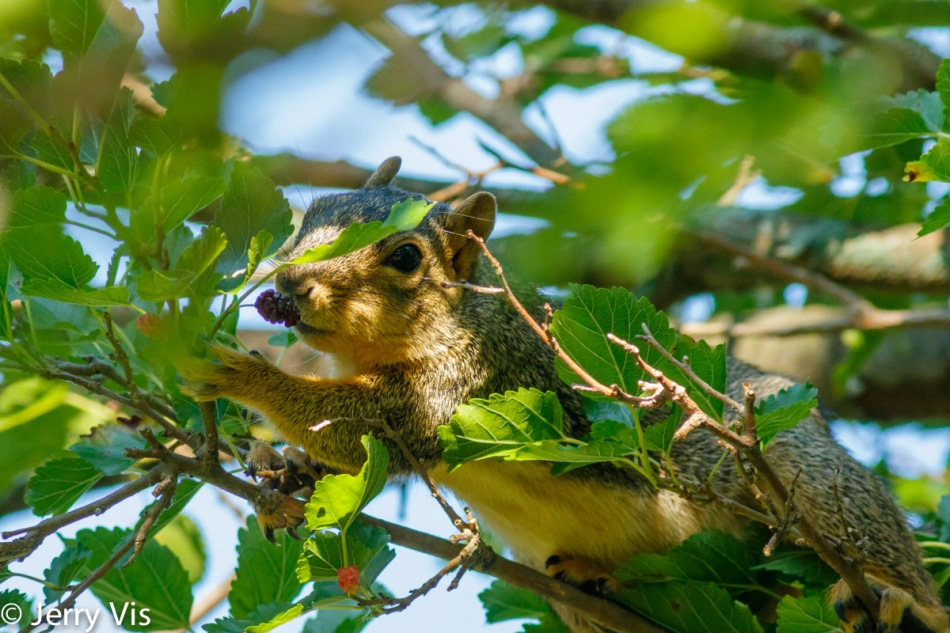 Fox squirrel sniffing a mulberry to see if it is ripe