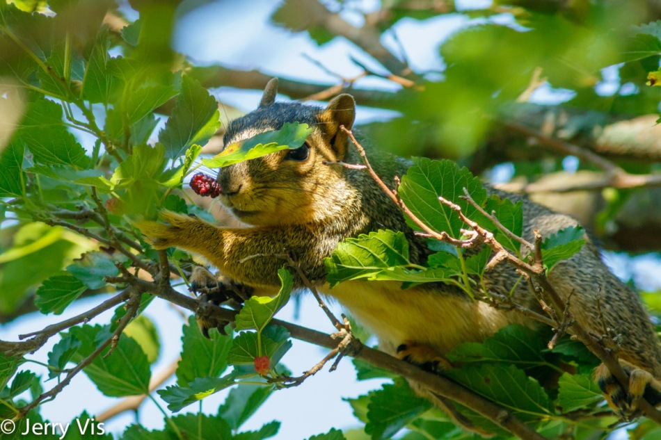 Fox squirrel sniffing mulberries