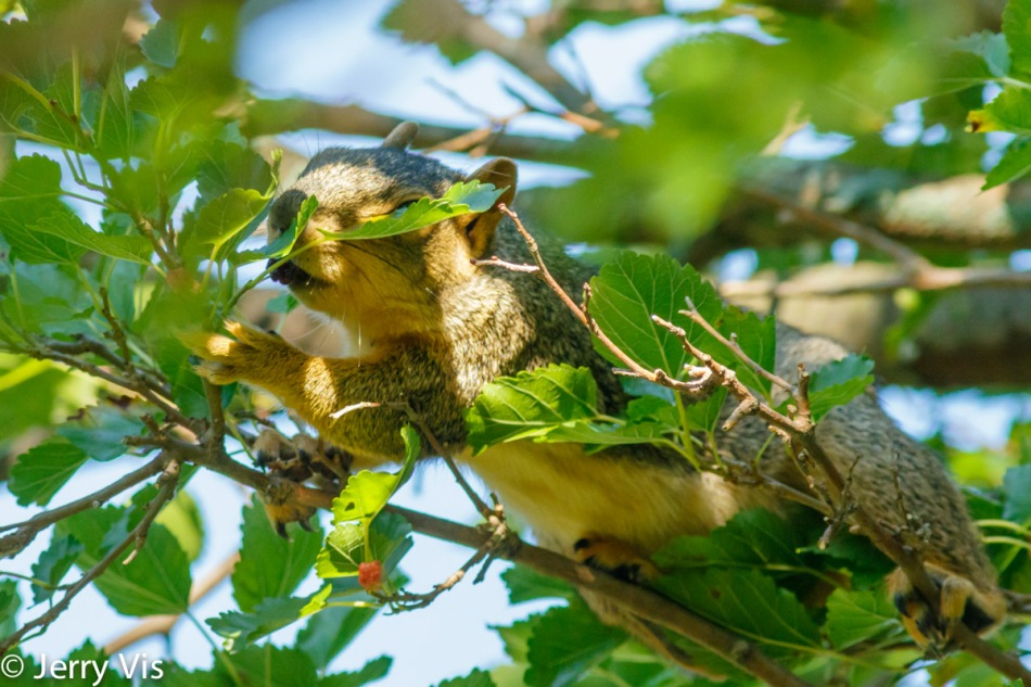 Fox squirrel tasting a mulberry