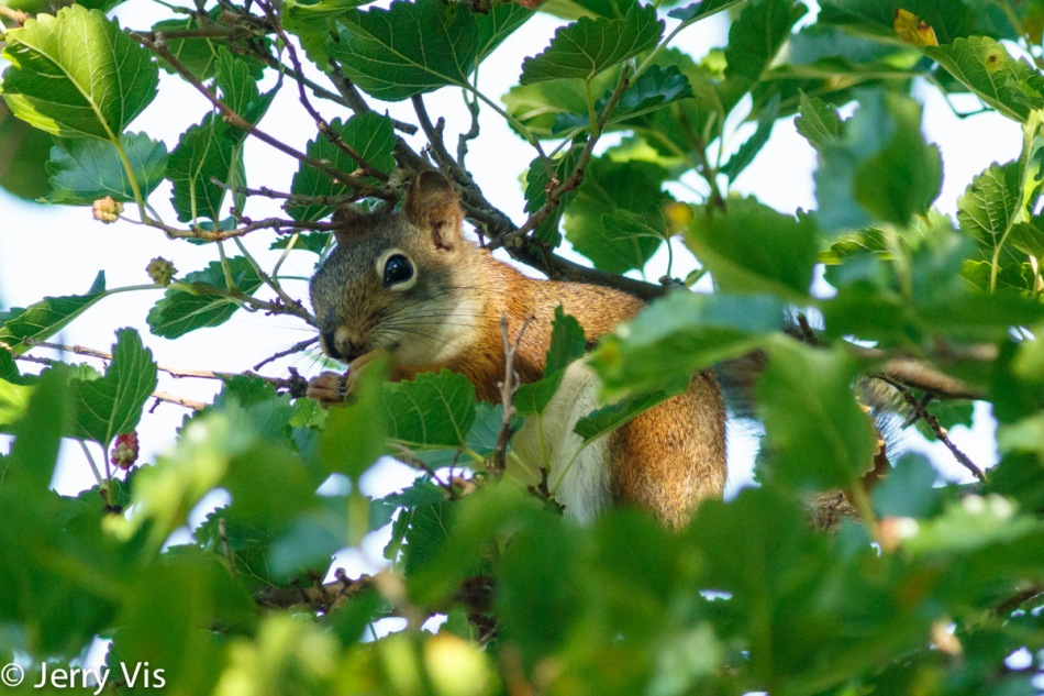Red squirrel eating mulberries