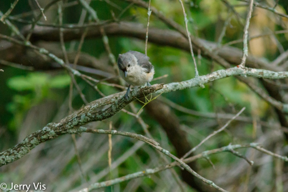Juvenile tufted titmouse and walking stick