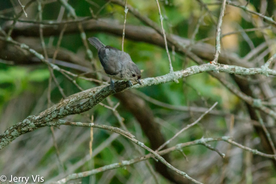 Juvenile tufted titmouse looking for the walking stick